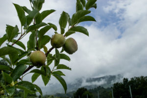 Picture of apples in orchard